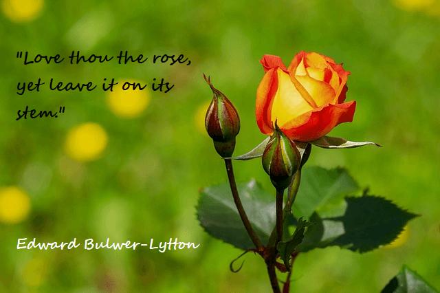 Kata Mutiara Bahasa Inggris Tentang Bunga Mawar Roses 2